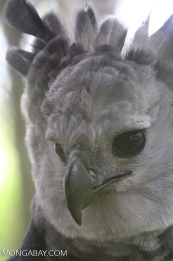 Harpy Eagle, Harpia harpyja, in Colombia