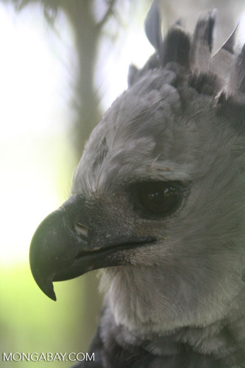 Harpy eagle, profile head shot