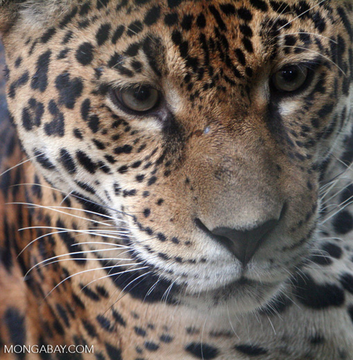 Captive jaguar in Colombia