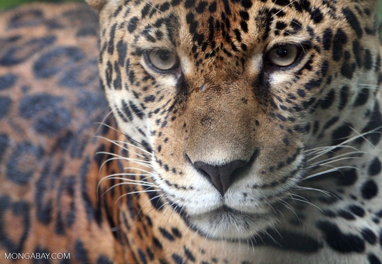Jaguar are found in Sierra del Divisor. Photo by Rhett A. Butler