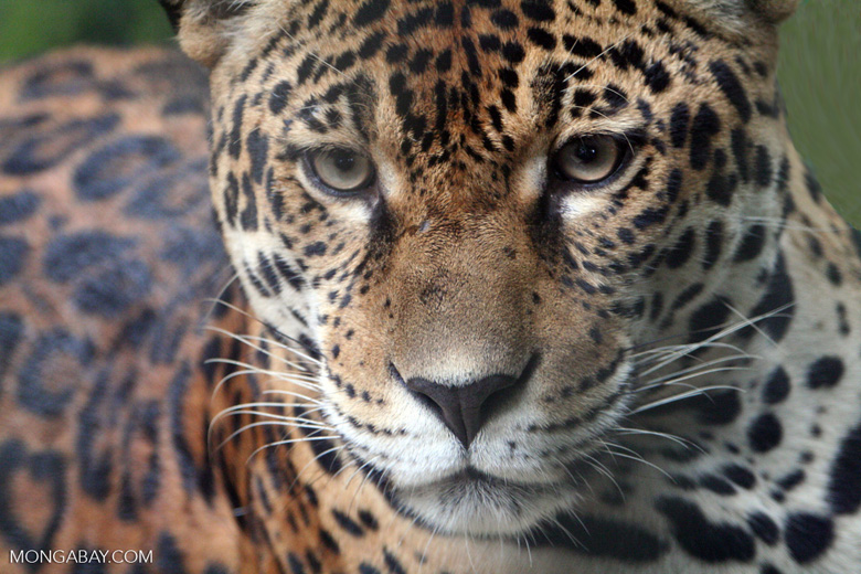 Jaguar (Panthera onca) [co06-1367]