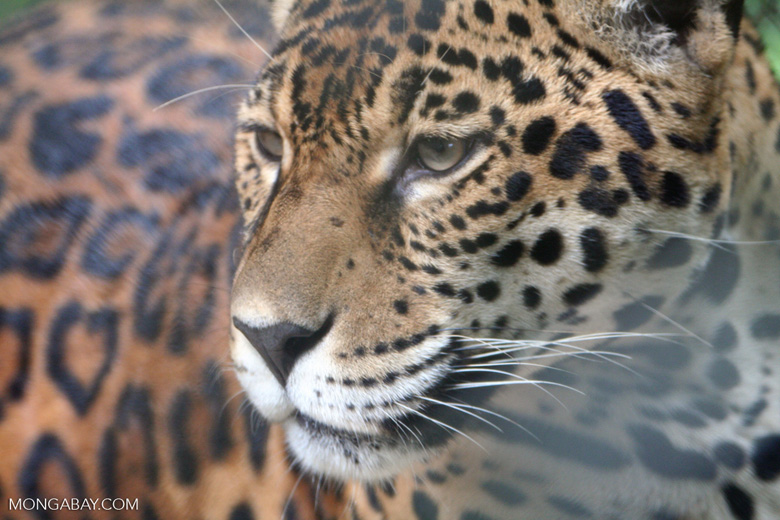 Jaguar [co06-1373]