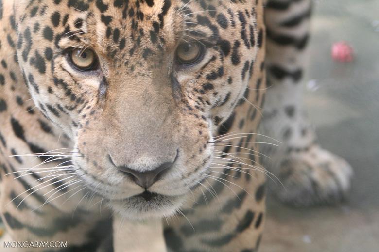 Jaguar (Panthera onca) [co06-1412]
