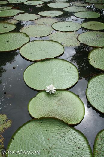 White flower blossom of Victoria amazonica