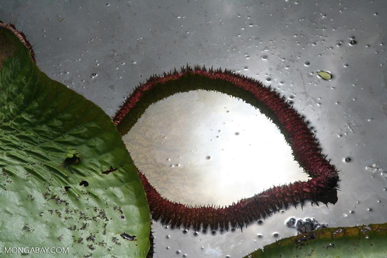 Emerging Victoria amazonica leaf
