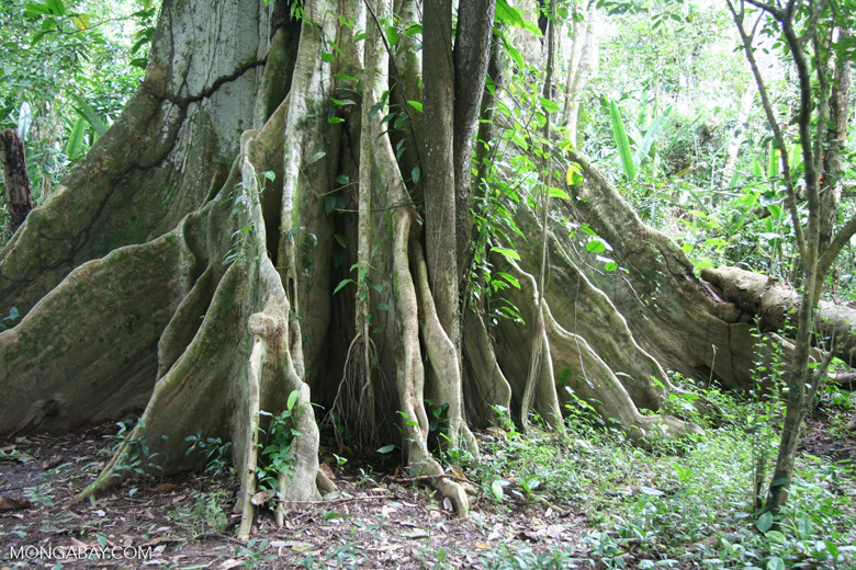 Shallow-rooted rainforest canopy trees often have buttress roots for support