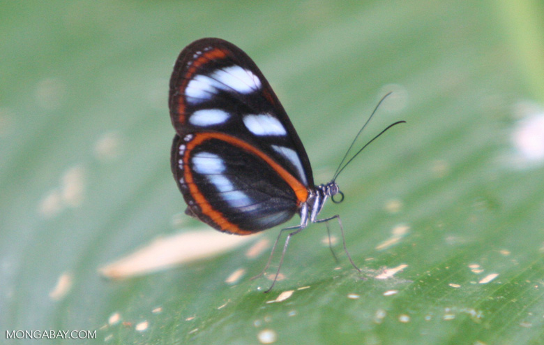 Black, orange, and light blue butterfly on a Heliconia leaf, possibly Ithomia pellucida or the