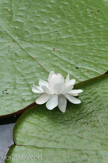 White Victoria amazonica flower