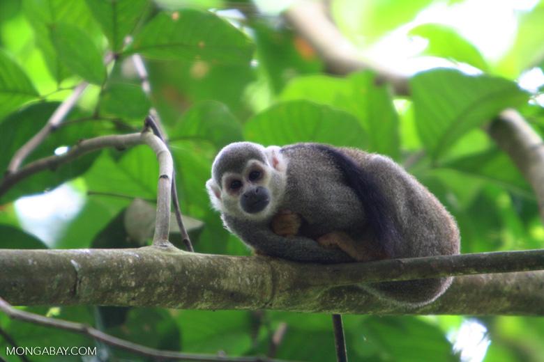 Common Squirrel Monkey (Saimiri sciureus albigena)