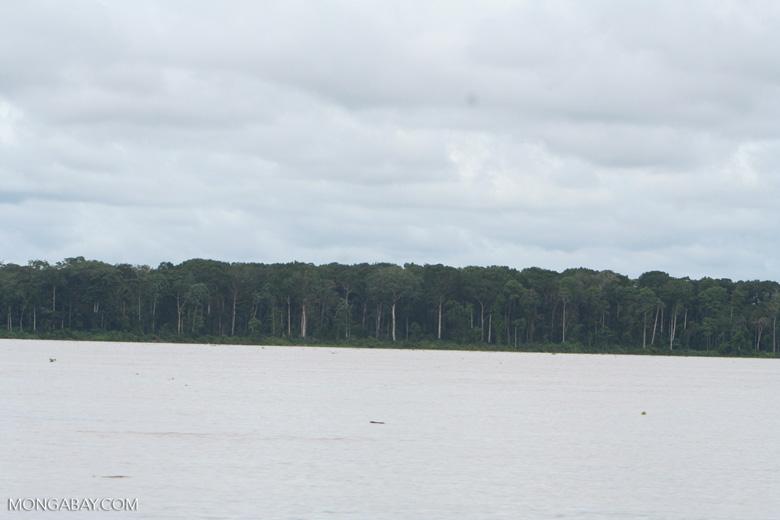 Floodplain (varzea) forest along the Amazon river