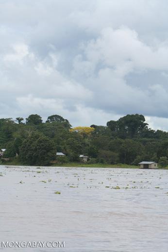 Yellow flowering tree behind an Amazon settlement