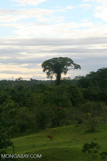 Deforestation for cattle pasture in the Amazon rainforest of Colombia