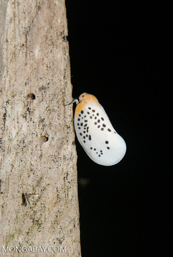 White insect with black spots and an orange head