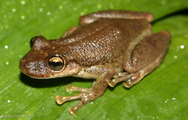 Brown tree frog (Osteocephalus planiceps) near Puerto Nariño