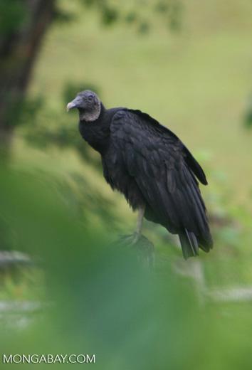 Black vulture (Coragyps atratus) in Colombia