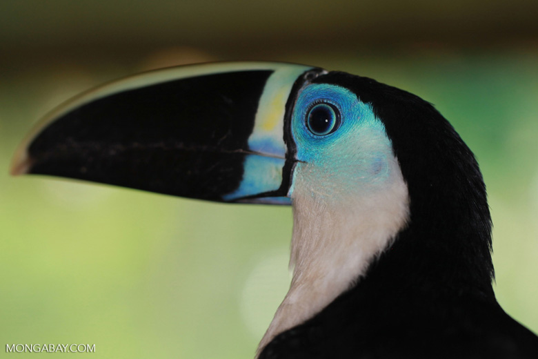 White-throated Toucan (Ramphastos tucanus) [colombia_0054]