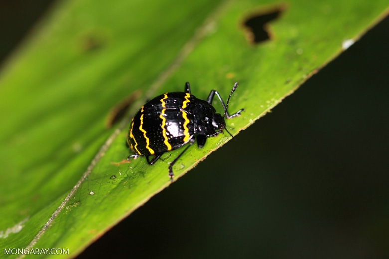 Pleasing fungus beetle (Erotylidae family) with a black ...