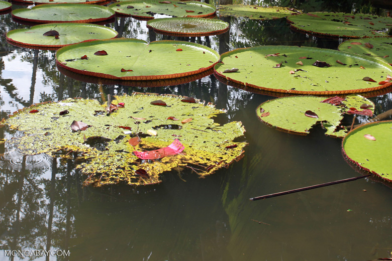 Victoria Water Lily in the Amazon