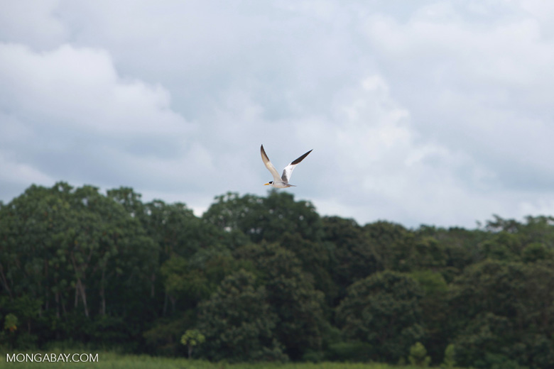Yellow-billed Tern (Sternula superciliaris) in flight over the Amazon