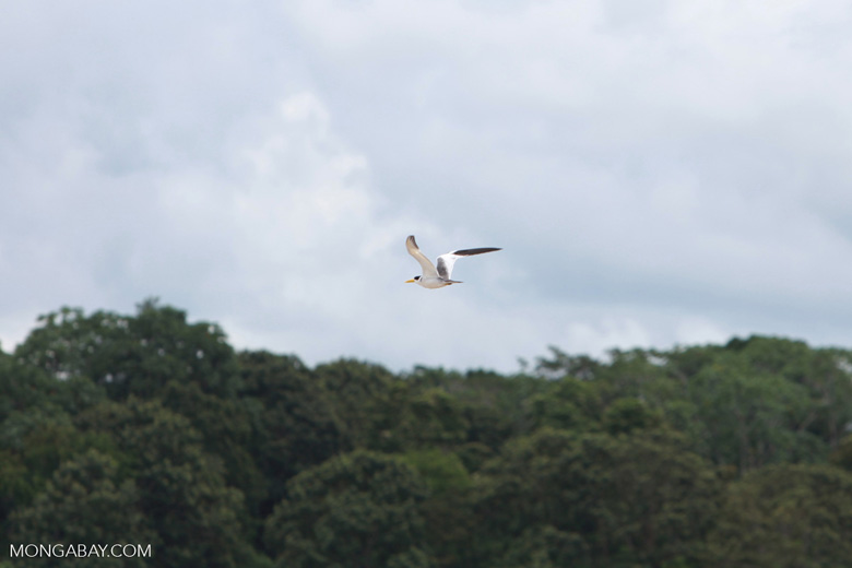 Yellow-billed Tern (Sternula superciliaris) in flight over the Amazon [colombia_0167]