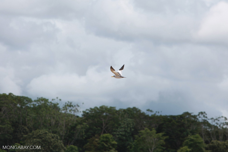 Yellow-billed Tern (Sternula superciliaris) in flight over the Amazon [colombia_0168]