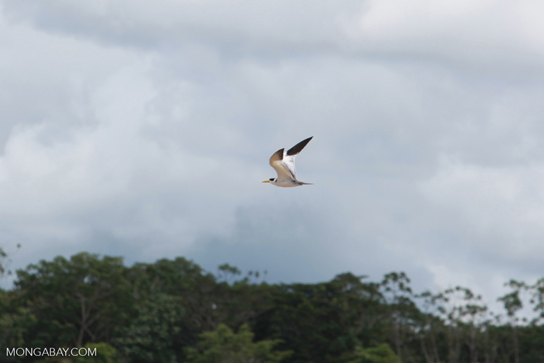 Yellow-billed Tern (Sternula superciliaris) in flight over the Amazon [colombia_0169]