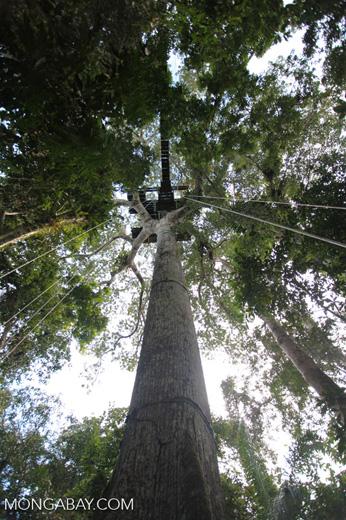 Canopy tree-climbing platform in Amacayacu National Park