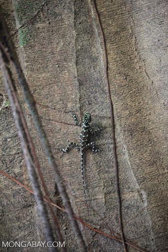 Collared tree lizard (Plica plica) [colombia_0357]