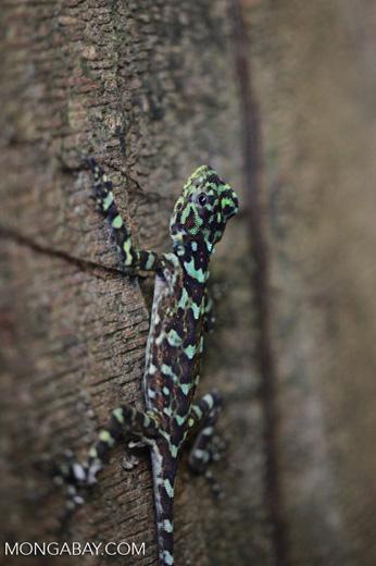 Collared tree lizard (Plica plica)