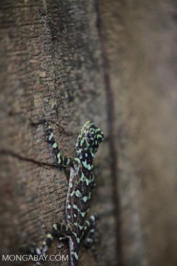 Harlequin Iguana (Plica plica) [colombia_0368]