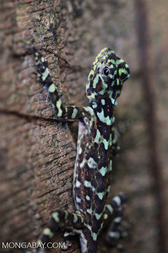 Tree Runner lizard (Plica plica)