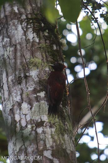 Woodpecker [colombia_0384]