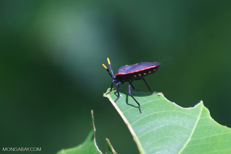 Black And Red Shield Bug With Yellow Tipped Antennae