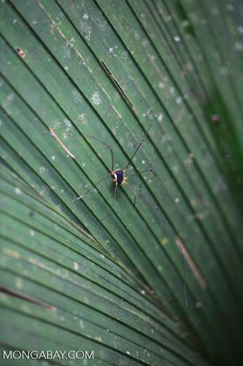 Spider-like harvestman [colombia_0551]