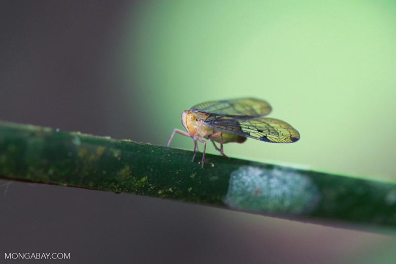 Fulgoridae family bug [colombia_0596]