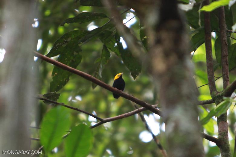 Golden-headed Manakin (Pipra erythrocephala) [colombia_0636]