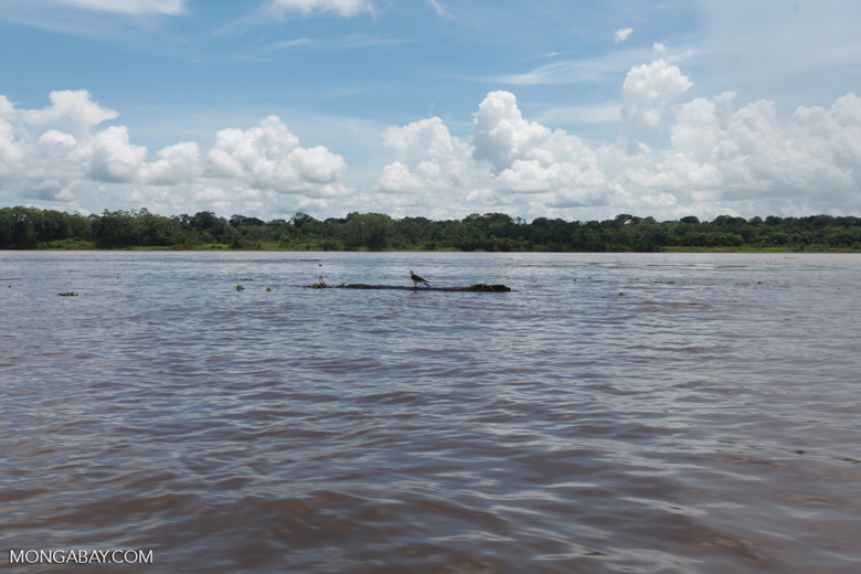 Caracara floating down the Amazon River