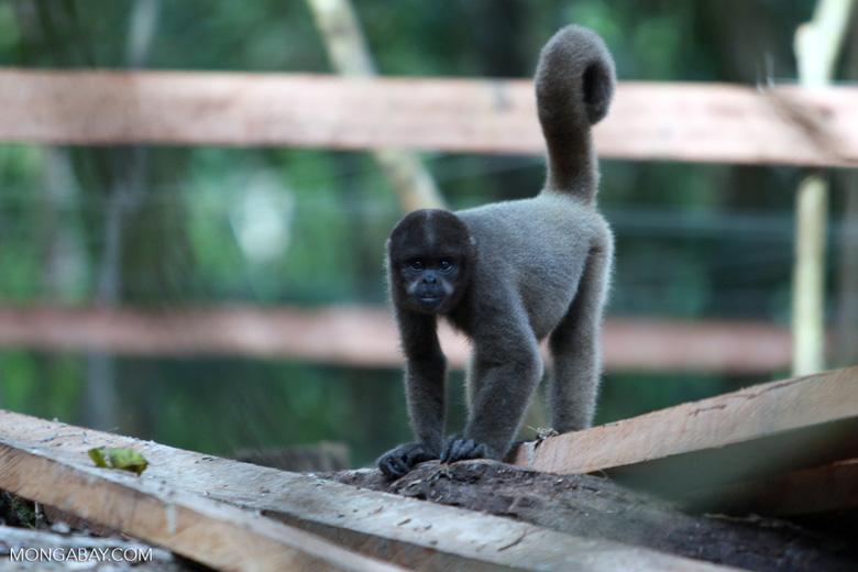 Common woolly monkey (Lagothrix lagotricha) [colombia_0745]