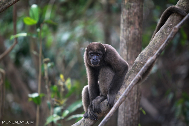 Common woolly monkey (Lagothrix lagotricha) [colombia_0797]