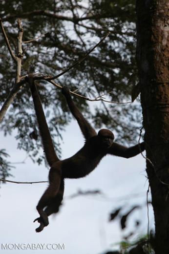 Common woolly monkey (Lagothrix lagotricha) [colombia_0816]