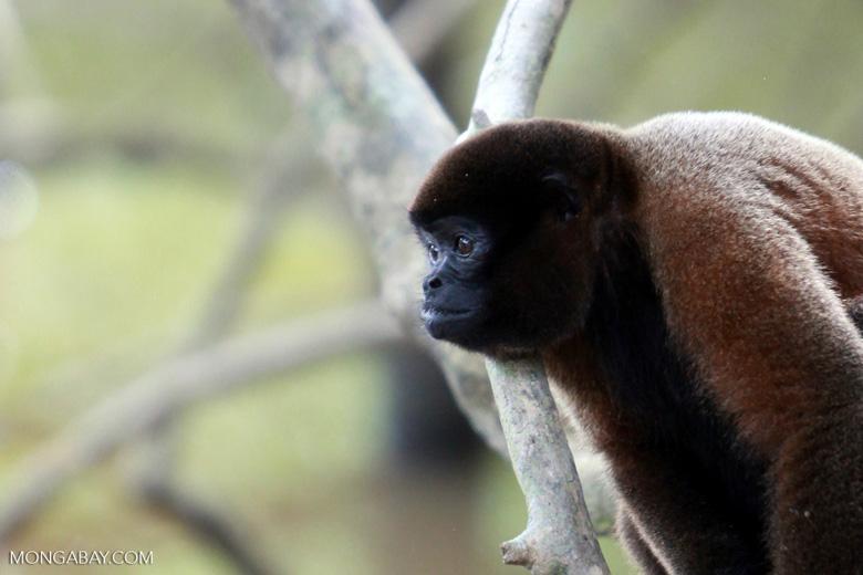 Common woolly monkey (Lagothrix lagotricha) [colombia_0828]