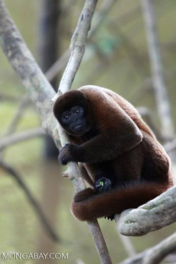 Common woolly monkey (Lagothrix lagotricha) [colombia_0831]