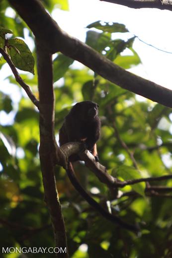 Saddle-backed Tamarin (Saguinus fuscicollis)