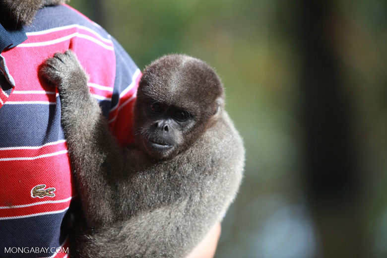 Former pet woolly monkey at a rehabiltiation center in the Amazon