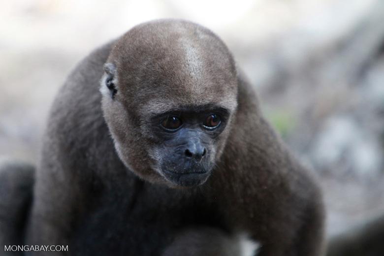 Common woolly monkey (Lagothrix lagotricha) [colombia_0884]