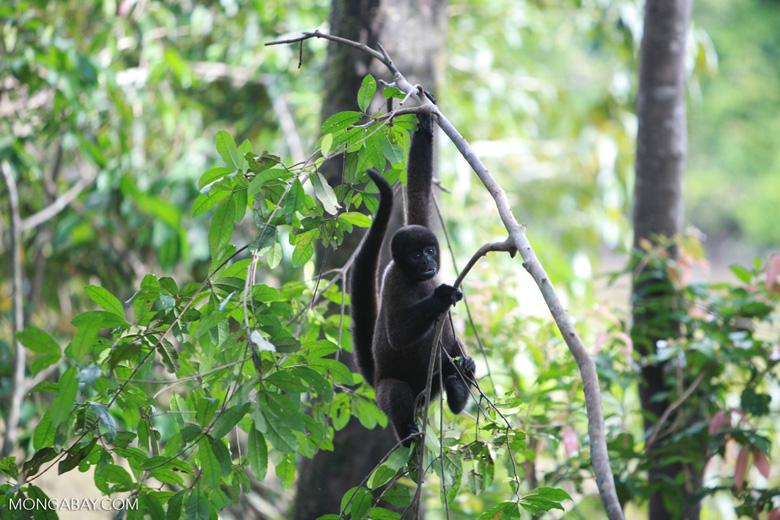 Common woolly monkey (Lagothrix lagotricha) [colombia_0888]