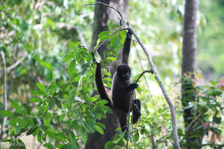 Common woolly monkey (Lagothrix lagotricha) [colombia_0889]