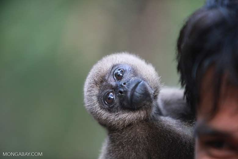 Colombian woolly monkey at a rehabiltiation center in the Amazon [colombia_0894]