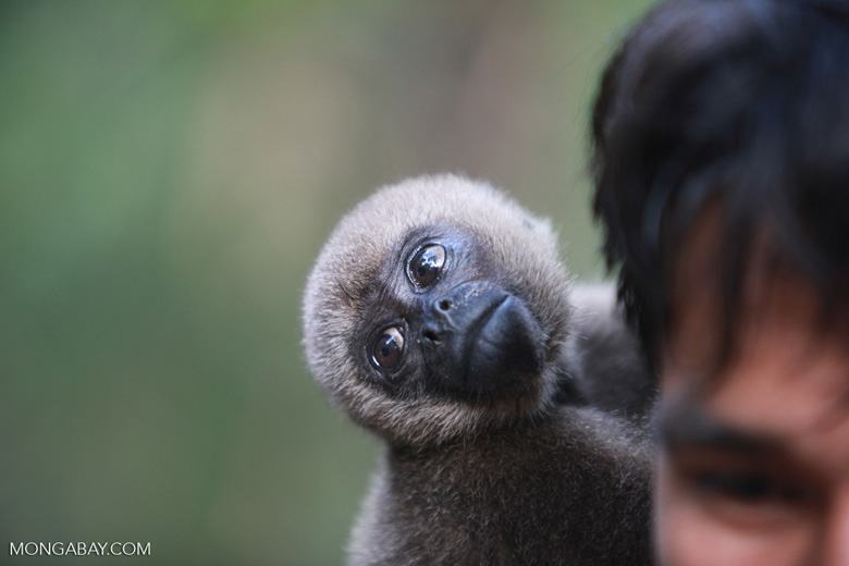 Colombian woolly monkey at a rehabiltiation center in the Amazon