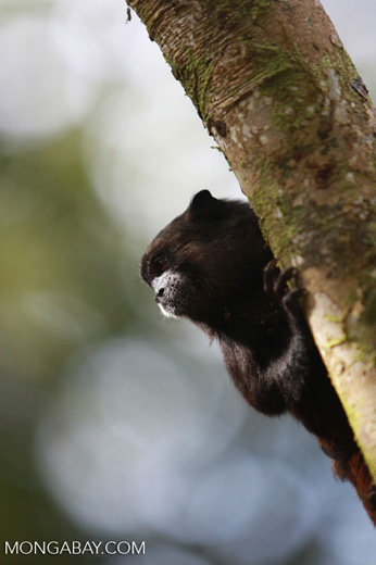 Brown-mantled Tamarin (Saguinus fuscicollis)
